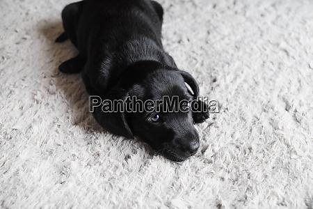 kleiner schwarzer hund liegt auf hellgrauem