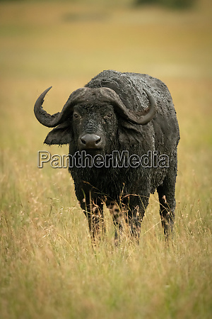 cape buffalo stands watching camera in