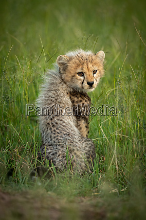 gepardenjunge, sitzt, im, gras, und, blickt - 27315003