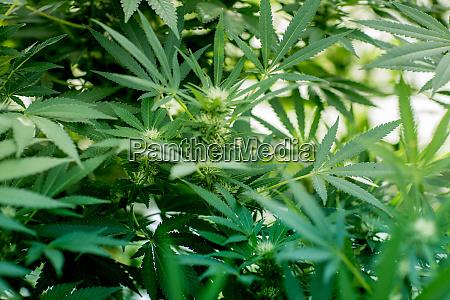 nahaufnahme von gruenem marihuana cannabispflanzen