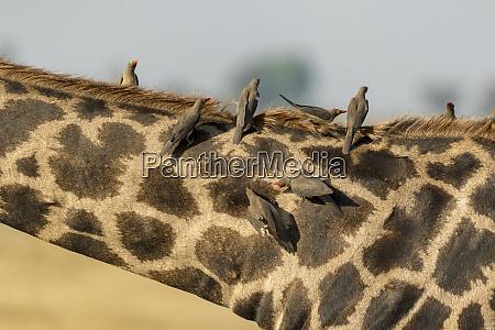 afrika, botswana, chobe, nationalpark., nahaufnahme, von, giraffen, mit - 27324986