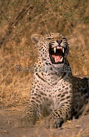 wuetend botswana growl leopard mund okavango