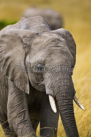 ein afrikanischer elefant weidet auf den
