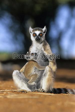 ring tailed lemur lemur catta mother