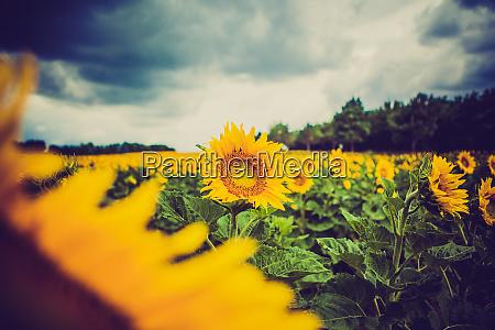 gelbe sonnenblumen auf pflanze