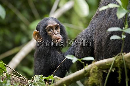 afrika uganda kibale nationalpark ngogo schimpansen