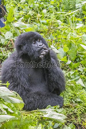 africa rwanda musanze district volcanoes national
