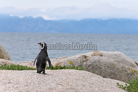african penguin simons town south africa