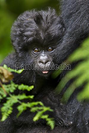 africa rwanda female and juvenile mountain