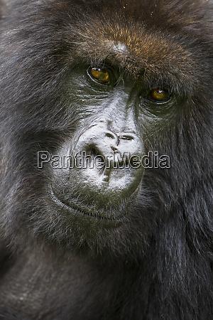 africa rwanda female mountain gorilla gorilla