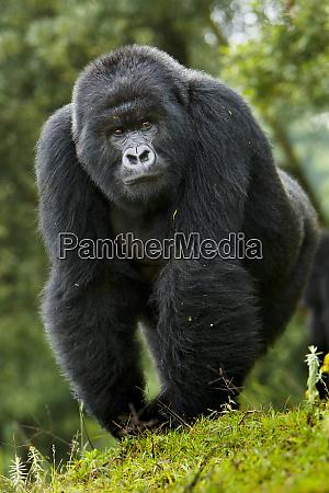 africa rwanda kigoma a mountain gorilla