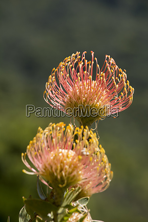 south africa cape town protea flowers