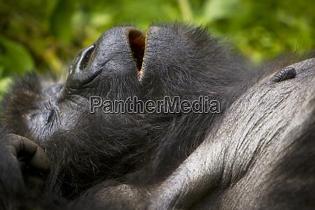 africa, , rwanda, , juvenile, mountain, gorilla, (gorilla - 27326416