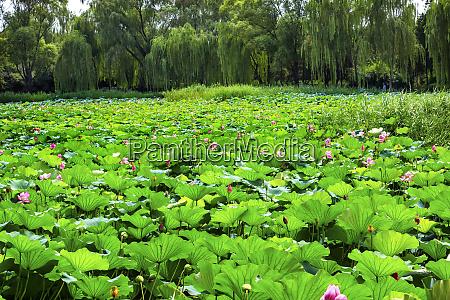 pink lotus pads garden summer palace