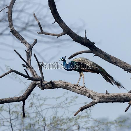 pfau keoladeo ghana nationalpark unesco biosphaerenreservat