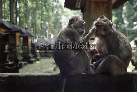 indonesia bali ubud long tailed macaque