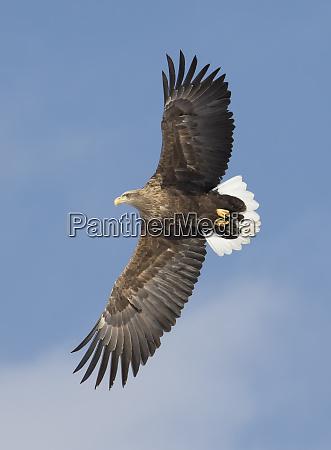 white tailed eagle flying tsurui mura