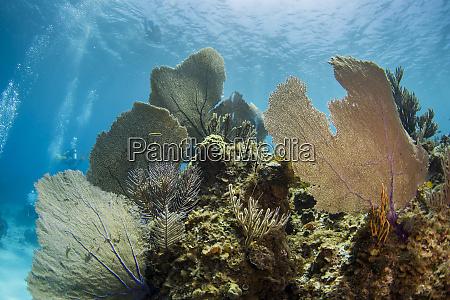 purple sea fans and soft corals