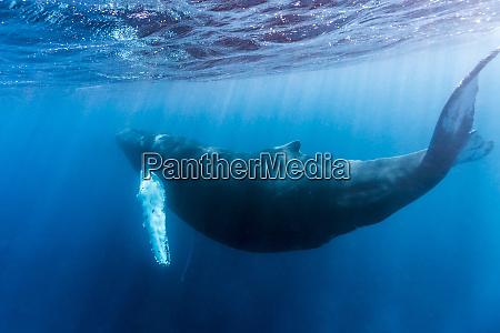 a large pregnant female humpback whale