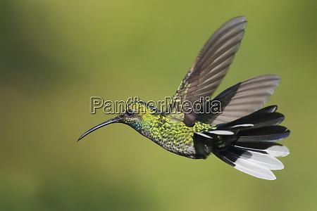 white tailed sabrewing campylopterus ensipennis flying