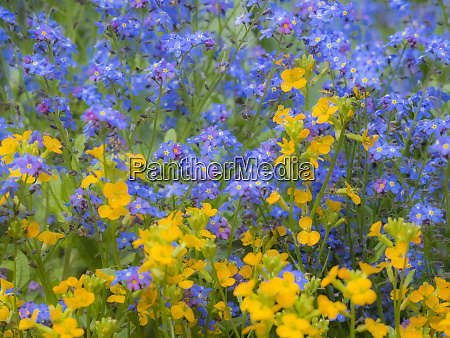 blue and yellow with forget me