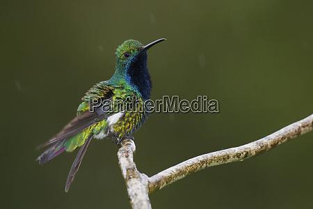schwarzkehl-mango-kolibri - 27329336