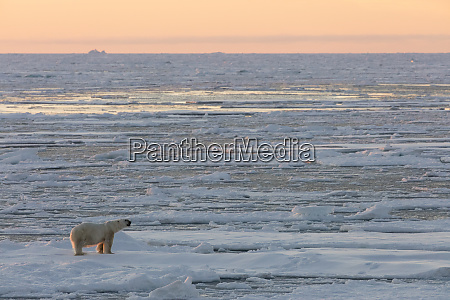 norway svalbard spitsbergen polar bear on