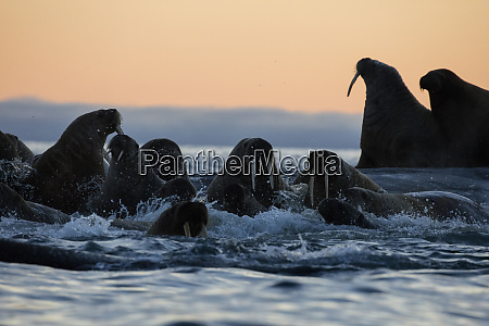 norway svalbard kvitoya walrus swim by