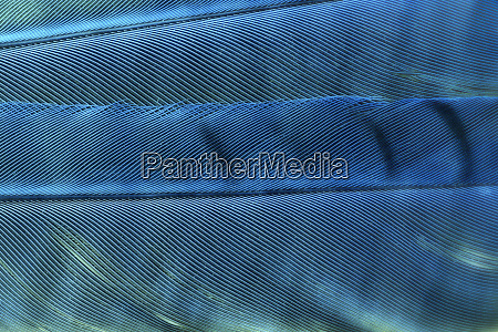 detail of blue jay feathers