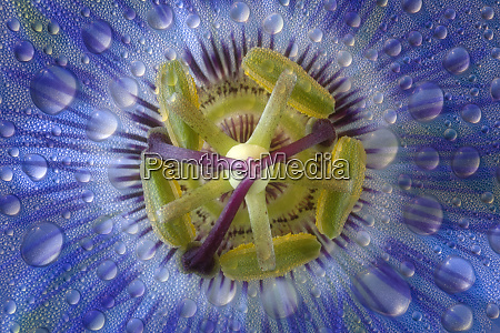 close up of dewy passion flower