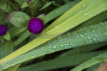 raindrops on green leaves with purple