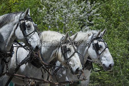 drei pferdekutschen team