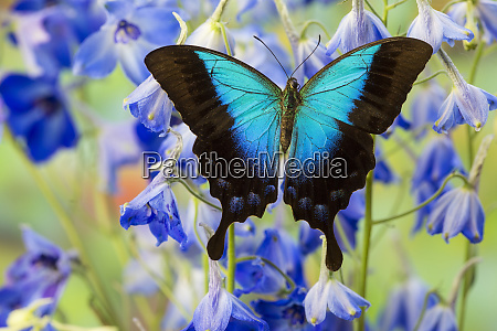 blue iridescence swallowtail butterfly papilio pericles