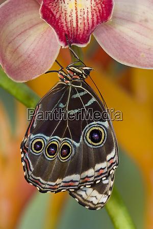 tropical butterfly the blue morpho morpho