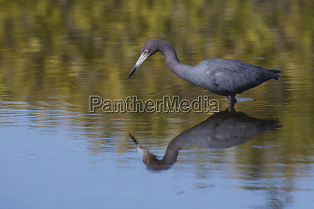 little blue heron stalking