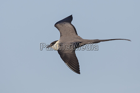 long tailed jaeger flying