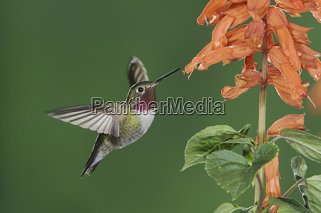 broad tailed hummingbird selasphorus platycercus male