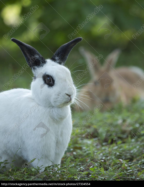 schwarz, und, weiß, rex, kaninchen, mit - 27334554