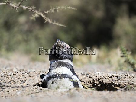 magellanic penguin spheniscus magellanicus in colony