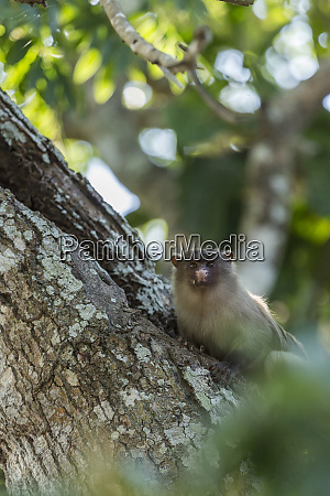 a black tailed marmoset stare down