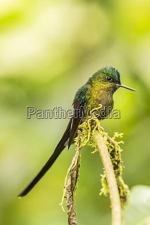 ecuador tandayapa bird lodge violet tailed