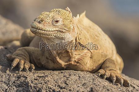 ecuador galapagos national park land iguana