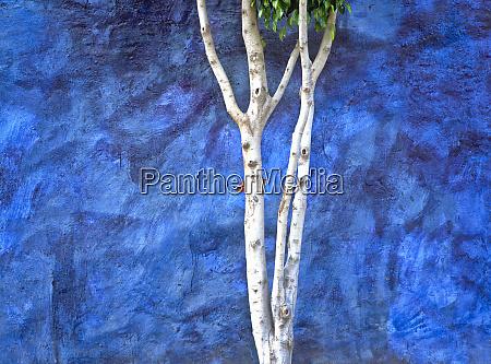 mexico ajijic white tree against blue