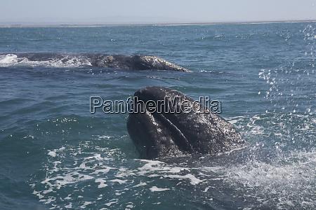 gray whale san ignacio lagoon baja