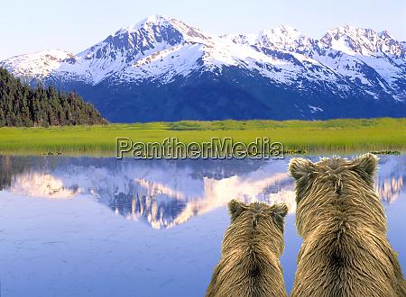 alaska braunbaeren ursus arctos alaska digital