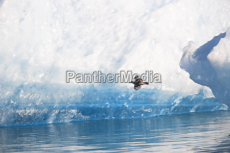 blue icebergs with herring gulls larus