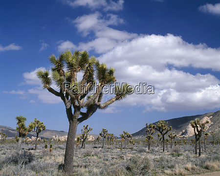 usa california joshua tree national park