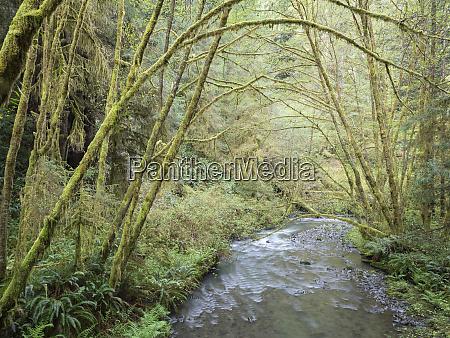 usa california redwood national park alder