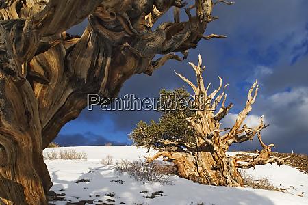 usa california white mountains bristlecone pine
