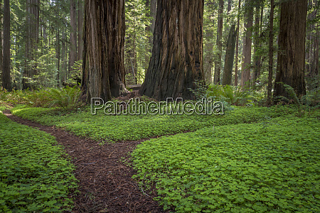 usa california jedediah smith redwoods state